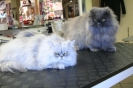 Perserkatzen Olli & Olivia